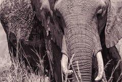 портрет африканского слона Стоковое фото RF