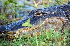Портрет аллигатора в болотистых низменностях, США Стоковое фото RF