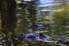 Портрет аллигатора Стоковые Изображения RF