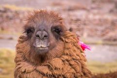Портрет альпаки лама Стоковая Фотография