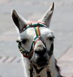 Портрет альпаки Стоковая Фотография