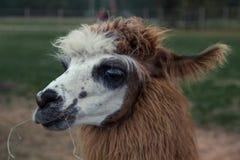 Портрет альпаки Стоковое Фото