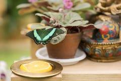 Портрет бабочки в реальном маштабе времени Стоковая Фотография RF