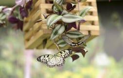 Портрет бабочки в реальном маштабе времени Стоковые Фотографии RF