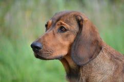 Портрет баварского Bloodhound горы Стоковое Изображение RF