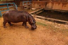 Портрет бегемота в Ниамей на Нигере Стоковые Изображения