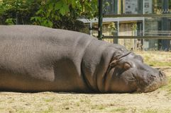 Портрет бегемота спать стоковые фотографии rf