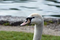 Портрет безгласного лебедя стоковые изображения rf