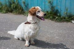 Портрет бездомной собаки ища свои новый владелец и надежды что она будет иметь новую жизнь в новом доме скоро Стоковое Фото