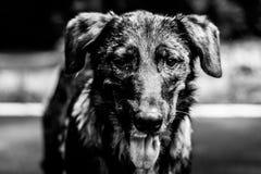Портрет бездомной собаки, черно-белое фото Стоковое Фото