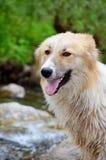 Портрет бездомной влажной собаки внешней Стоковое Изображение RF