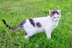 Портрет без сокращений белого кота на зеленом grass_ стоковая фотография