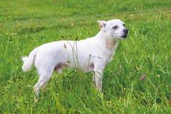 Портрет без сокращений белой собаки breed_ чихуахуа стоковое фото