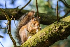 Портрет белки есть арахис на ветви дерева Стоковые Изображения RF