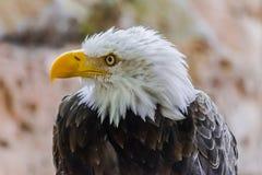 Портрет белоголового орлана, leucocephalus Haliaeetus стоковая фотография rf