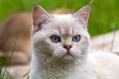 Портрет белого великобританского кота с голубыми глазами, головой кота пункта цвета с носом голубых глазов розовым и tassels на у стоковое фото rf
