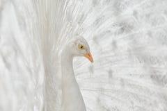 Портрет белого павлина стоковая фотография rf