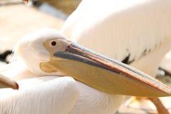 Портрет белого пеликана стоковая фотография rf