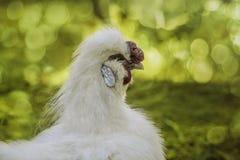 Портрет белого петуха в профиле стоковое фото