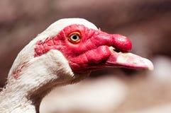 Портрет белой гусыни на ферме Стоковые Изображения