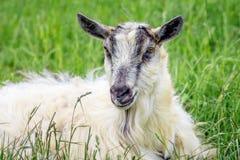 Портрет белой козы против предпосылки зеленой травы отечественно стоковое фото