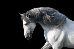Портрет белой лошади на черноте стоковое изображение