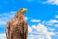 Портрет бело-замкнутых орла или whitetail Orlan на голубой предпосылке облачного неба Стоковое фото RF