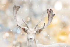 Портрет белых ланей в зимнем времени стоковые изображения rf