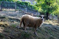 Портрет белых овец 7 животных серий иллюстрации фермы шаржа Стоковые Изображения RF