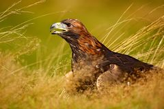 Портрет беркута, сидя в коричневой траве Сцена живой природы от природы Летний день в луге Орел с открытым счетом Стоковые Изображения RF