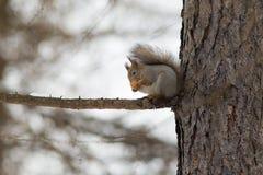 Портрет белки на дереве Стоковая Фотография