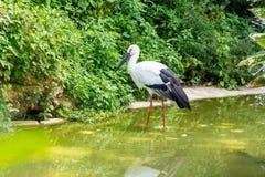 Портрет белого аиста стоя в озере Стоковые Изображения