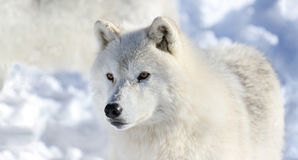 Портрет белого волка в зиме Стоковые Изображения