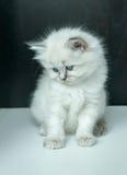 Портрет белого котенка Стоковые Изображения