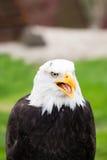 Портрет белоголового орлана на траве Стоковое фото RF