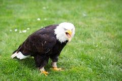 Портрет белоголового орлана на траве Стоковая Фотография RF
