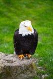 Портрет белоголового орлана на траве Стоковое Изображение