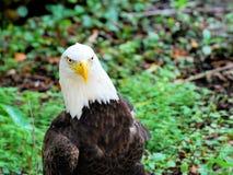 Портрет белоголового орлана, Флориды Стоковые Изображения RF