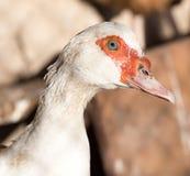 Портрет белой гусыни на ферме Стоковое Изображение RF