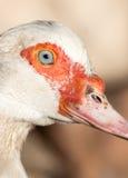 Портрет белой гусыни на ферме Стоковые Изображения RF