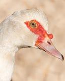 Портрет белой гусыни на ферме Стоковое Изображение