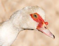 Портрет белой гусыни на ферме Стоковая Фотография RF