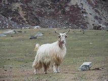 Портрет белой козы в Пакистане Стоковая Фотография