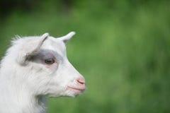 Портрет белой козы Стоковое фото RF