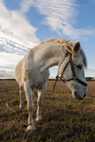 Портрет белой лошади Стоковые Изображения RF