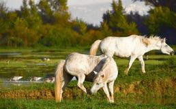 Портрет белой лошади Стоковое Изображение RF