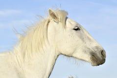 Портрет белой лошади Camargue Стоковые Фото