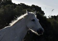 Портрет белой лошади Camargue Стоковая Фотография RF