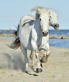 Портрет белой лошади Camargue Стоковое Фото