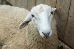 Портрет белых овец близко к деревянной предпосылке Стоковое Изображение